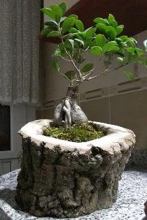 Ahşap kütük içerisinde ginseng bonsai  Tekirdağ online çiçek gönderme sipariş