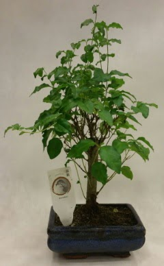 Minyatür bonsai japon ağacı satışı  Tekirdağ çiçek , çiçekçi , çiçekçilik