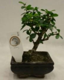 Küçük minyatür bonsai japon ağacı  Tekirdağ çiçek satışı