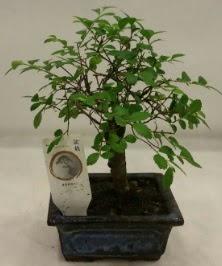 Minyatür ithal japon ağacı bonsai bitkisi  Tekirdağ ucuz çiçek gönder