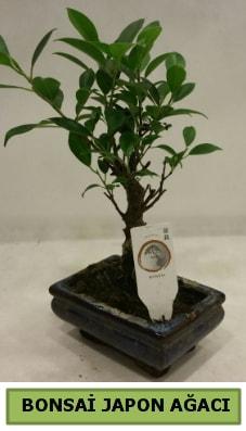 Bonsai japon ağacı saksı bitkisi  Tekirdağ kaliteli taze ve ucuz çiçekler