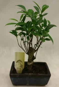 Japon ağacı bonsai bitkisi satışı  Tekirdağ çiçek , çiçekçi , çiçekçilik