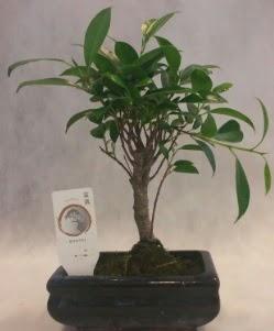 Bonsai japon ağacı bitkisi satışı  Tekirdağ çiçek gönderme