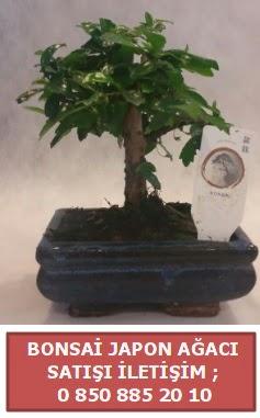 Japon ağacı minyaür bonsai satışı  Tekirdağ ucuz çiçek gönder