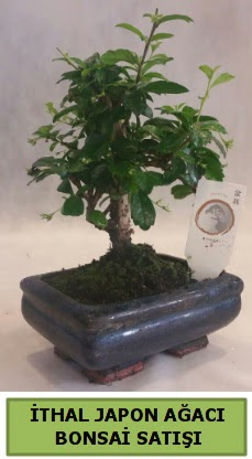 İthal japon ağacı bonsai bitkisi satışı  Tekirdağ çiçek , çiçekçi , çiçekçilik