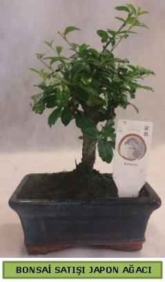 Minyatür bonsai ağacı satışı  Tekirdağ çiçek satışı