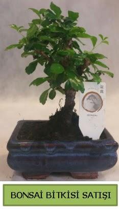 Bonsai ithal görsel minyatür japon ağacı  Tekirdağ çiçekçi mağazası