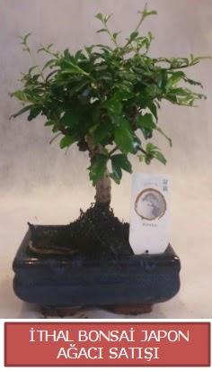 İthal küçük boy minyatür bonsai ağaç bitkisi  Tekirdağ çiçek , çiçekçi , çiçekçilik