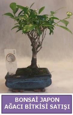 İthal Bonsai japon ağacı bitkisi satışı  Tekirdağ çiçek yolla