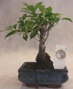Bonsai ağacı japon ağaç bitkisi  Tekirdağ çiçekçi telefonları