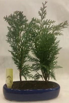 SINIRLI SAYIDA Selvi Ağacı bonsai ikili  Tekirdağ çiçek , çiçekçi , çiçekçilik