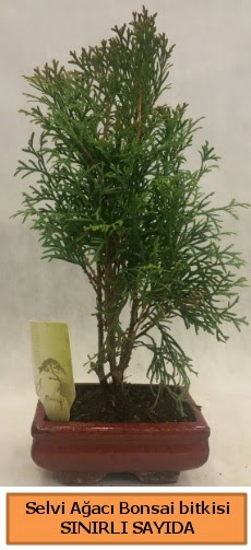 Selvi ağacı bonsai japon ağacı bitkisi  Tekirdağ ucuz çiçek gönder