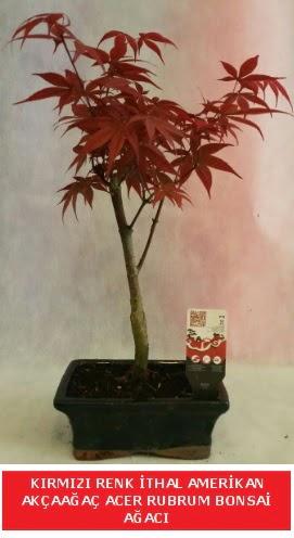 İTHAL ACER RUBRUM BONSAİ AĞACI  Tekirdağ çiçek gönderme