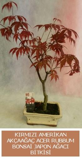 Amerikan akçaağaç Acer Rubrum bonsai  Tekirdağ anneler günü çiçek yolla