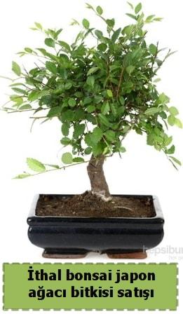 İthal bonsai saksı çiçeği Japon ağacı satışı  Tekirdağ çiçek yolla