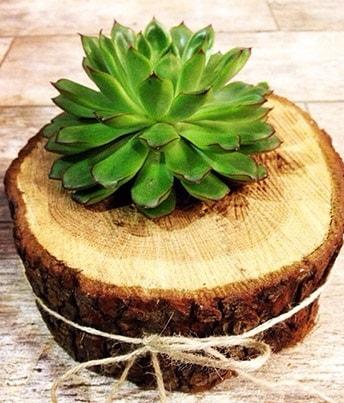 Doğal kütük içerisinde sukulent kaktüs  Tekirdağ ucuz çiçek gönder