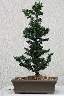 Çam ağacı bonsai bitkisi satışı  Tekirdağ çiçek , çiçekçi , çiçekçilik