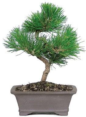 Çam ağacı bonsai japon ağacı bitkisi  Tekirdağ çiçek satışı