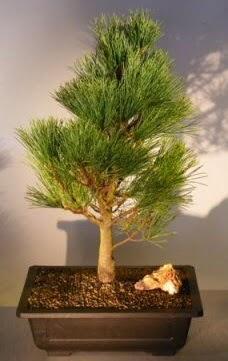 Çam ağacı japon ağacı bitkisi bonsai  Tekirdağ çiçek , çiçekçi , çiçekçilik