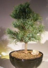 Çam ağacı bonsai bitkisi satışı  Tekirdağ çiçekçi mağazası