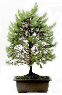 *** STOKTA YOK - Çam ağacı bonsai bitkisi satışı  Tekirdağ 14 şubat sevgililer günü çiçek