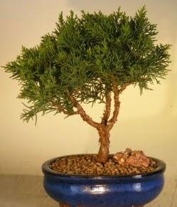 Servi çam bonsai japon ağacı bitkisi  Tekirdağ çiçekçi telefonları