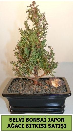 Selvi çam japon ağacı bitkisi bonsai  Tekirdağ çiçek , çiçekçi , çiçekçilik