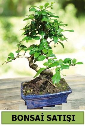 Çam bonsai japon ağacı satışı  Tekirdağ ucuz çiçek gönder