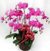 Sepet içerisinde 5 dallı lila orkide  Tekirdağ çiçekçi mağazası