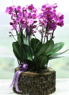 Kütük içerisinde 6 dallı mor orkide  Tekirdağ çiçekçi mağazası