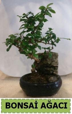 Bonsai ağacı japon ağacı satışı  Tekirdağ çiçek siparişi sitesi