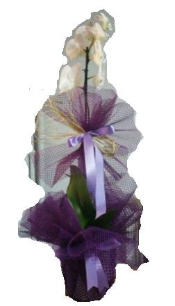 Tek dallı beyaz orkide süper kalite ithal  Tekirdağ çiçekçiler