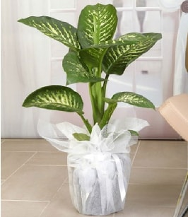 Tropik saksı çiçeği bitkisi  Tekirdağ ucuz çiçek gönder