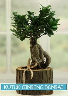 Kütük ağaç içerisinde ginseng bonsai  Tekirdağ çiçek gönderme