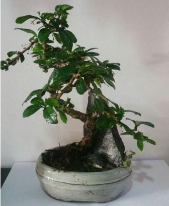 S şeklinde ithal bonsai ağacı  Tekirdağ çiçekçi telefonları