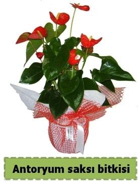 Antoryum saksı bitkisi satışı  Tekirdağ hediye çiçek yolla