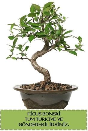 Ficus bonsai  Tekirdağ çiçek gönderme