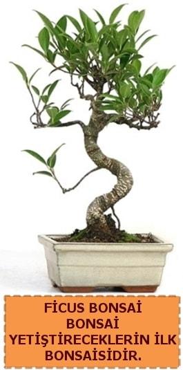Ficus bonsai 15 ile 25 cm arasındadır  Tekirdağ çiçekçi telefonları