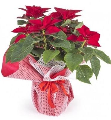 Atatürk çiçeği saksı bitkisi  Tekirdağ çiçek gönderme