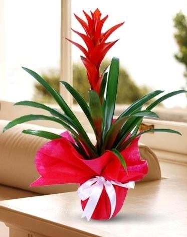 Guzmanya Saksı Çiçeği  Tekirdağ çiçekçi telefonları