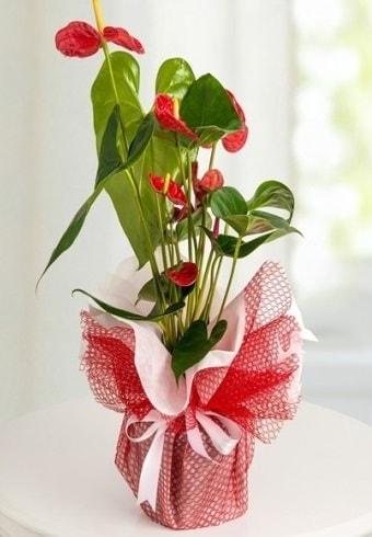 Anthurium Saksı Çiçeği  Tekirdağ çiçek siparişi sitesi