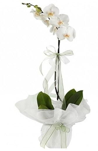 Tekli Beyaz Orkide  Tekirdağ çiçek siparişi sitesi