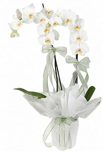 Çift Dallı Beyaz Orkide  Tekirdağ çiçek online çiçek siparişi