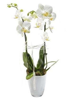 2 dallı beyaz seramik beyaz orkide saksısı  Tekirdağ çiçek gönderme