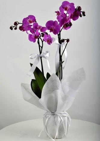 Çift dallı saksıda mor orkide çiçeği  Tekirdağ cicek , cicekci
