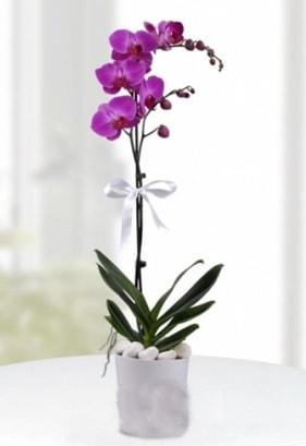 Tek dallı saksıda mor orkide çiçeği  Tekirdağ çiçek siparişi vermek