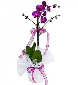 Tek dallı saksıda ithal mor orkide çiçeği  Tekirdağ çiçek siparişi vermek
