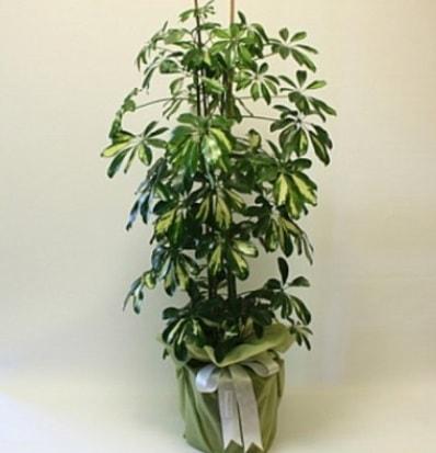 Şeflera salon bitkisi  Tekirdağ çiçek satışı
