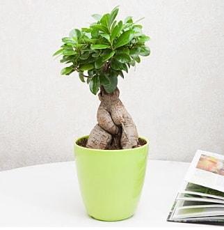 Ficus Ginseng Bonsai  Tekirdağ hediye sevgilime hediye çiçek