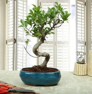 Amazing Bonsai Ficus S İthal  Tekirdağ online çiçek gönderme sipariş